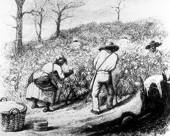 Slaves Working in Cotton