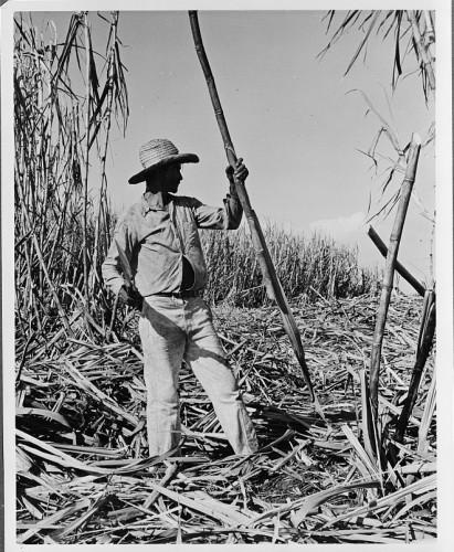 Sugarcane Harvest in Cuba